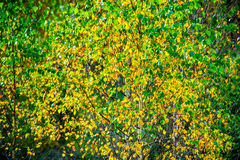 Säsong för nedgång för björkträd royaltyfri bild