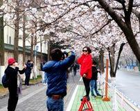 Säsongen av Sakura Royaltyfri Bild