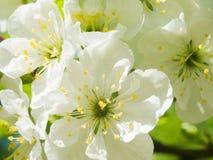 Säsongsbetonad bakgrund för abstrakt vår med vita blommor, naturlig easter blom- bild med kopieringsutrymme Arkivfoto