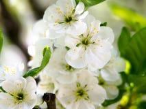 Säsongsbetonad bakgrund för abstrakt vår med vita blommor, naturlig easter blom- bild med kopieringsutrymme Arkivbild