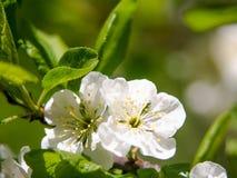 Säsongsbetonad bakgrund för abstrakt vår med vita blommor, naturlig easter blom- bild med kopieringsutrymme Royaltyfri Fotografi