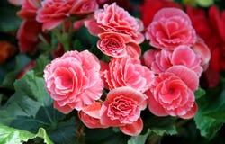 Rosa blommor av begoniaen Royaltyfria Foton