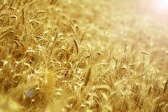 Säsongsbetonad skörd av vete i fälten Royaltyfria Bilder