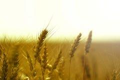 Säsongsbetonad skörd av vete i fälten Arkivbild