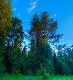 Säsongsommarskogen sörjer träd Royaltyfri Bild