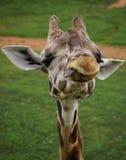 Sätt av en giraff, Valencia, Spanien Royaltyfria Foton