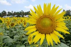Sätta in av den Sun blomman Arkivbilder