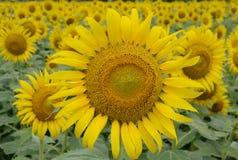 Sätta in av den Sun blomman Royaltyfri Bild