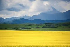 Sätta in av gul canola Fotografering för Bildbyråer