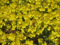 Sätta in av gula blommor Arkivfoto