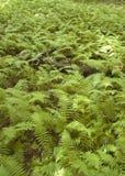 Sätta in av kanelbruna Ferns Fotografering för Bildbyråer