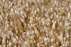 Sätta in av oats Royaltyfria Bilder