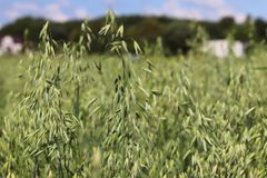 Sätta in av oats Mognad av den agrariska sektoren för framtida skörd av den jordbruks- branschen Växtlantgård Växa av sädes- skör arkivbilder