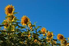 Sätta in av solrosor arkivbild