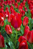 Sätta in av tulpan field röda tulpan Röda tulpan Royaltyfri Foto