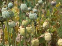 Sätta in av vallmoväxter Arkivbilder