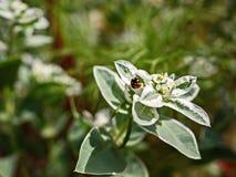 Sätta in dagen för solen för blommabuskekrypet nyckelpigan hård-påskyndade Fotografering för Bildbyråer