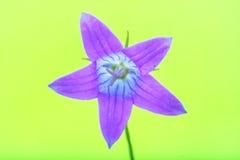 Sätta en klocka på blomman Arkivbild