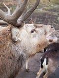 Sätta en klocka på hjortar Fotografering för Bildbyråer