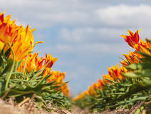Sätta in med färgrika tulpan i springtime Arkivfoto
