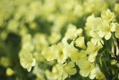 Sätta in med gula blommor Arkivfoto