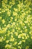 Sätta in med gula blommor Fotografering för Bildbyråer