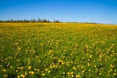 Sätta in med gula maskrosor Fotografering för Bildbyråer