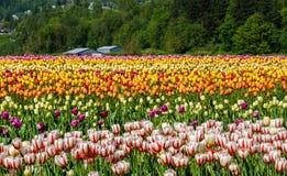 Sätta in med lotter Kanada vita och röda tulpan för 150 Royaltyfria Bilder