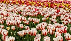 Sätta in med lotter Kanada vita och röda tulpan för 150 Arkivbilder