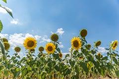 Sätta in med solrosor Arkivbilder