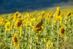 Sätta in med solrosor Arkivfoto