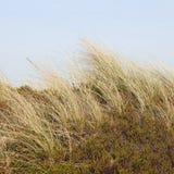 Sätta på land gräs och crowberryen i dyerna på ön av Sylt, Ge Arkivfoton