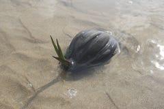 sätta på land kokosnöten Royaltyfri Fotografi