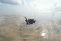 sätta på land kokosnöten Royaltyfria Foton