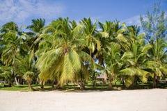 sätta på land kokosnötter Fotografering för Bildbyråer
