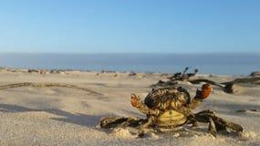 sätta på land krabban Arkivbild