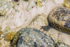 sätta på land krabban Royaltyfria Bilder