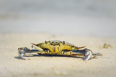sätta på land krabban Arkivfoton