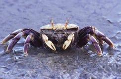 sätta på land krabban royaltyfria foton