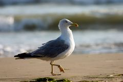 sätta på land seagullen Arkivbild