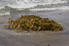 sätta på land tvättad seaweed arkivfoton