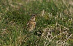 Sätta sig bedöva pilaris för en FieldfareTurdus på jordningen Det har jagat för att daggmaskar ska äta i gräset fotografering för bildbyråer