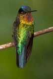 sätta sig Brännhet-throated kolibri Arkivbilder