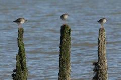 Sätta sig den bedöva Tringatotanusen för Redshank tre på tre stolpar i havet på högvatten på ön av Sheppey, Kent, UK Arkivfoton