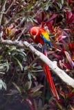 Sätta sig den fulla längden för arafågeln på en filial i en djungel Royaltyfri Bild