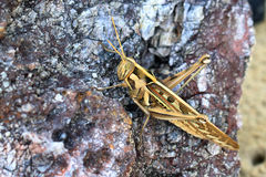 Sätta sig för gräshoppa Royaltyfri Foto