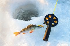 Sätta sig fisken med stången som ligger på isen, closeup lies för fiskeis bara blockerade vinterzander Royaltyfria Foton