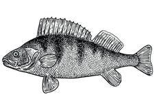Sätta sig fiskillustrationen, teckningen, gravyr, linjen konst som är realistisk Royaltyfri Illustrationer