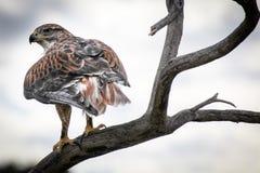 Sätta sig Hawk Rear View arkivfoto