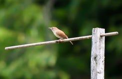 Sätta sig liten brun fågel Arkivbilder